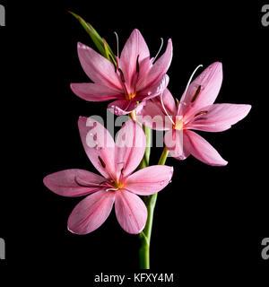 Un plan macro sur une petite lily rose tourné sur un fond noir. Banque D'Images