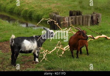 Scène de ferme au format paysage - deux chèvres paissent dans un enclos avec de l'herbe verte et d'un ruisseau Banque D'Images