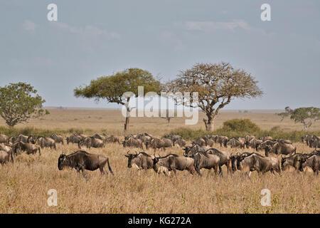 Le Gnou bleu (chat) gnu (Connochaetes taurinus) migration, le parc national du Serengeti, Tanzanie, Afrique orientale, Banque D'Images