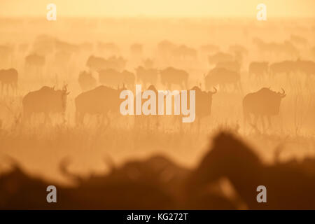 La migration, le Gnou bleu (Connochaetes taurinus) et common zebra (Equus burchelli), parc national de Serengeti, Banque D'Images