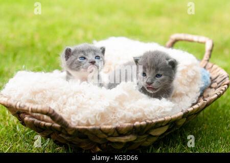 Moi deux chatons dans de vieux panier en bois Banque D'Images