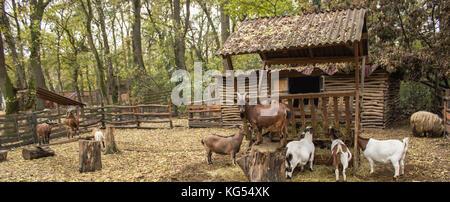 Un troupeau de chèvres dans un enclos avec un chef, le reste les chèvres mangent, les chèvres de différentes couleurs Banque D'Images