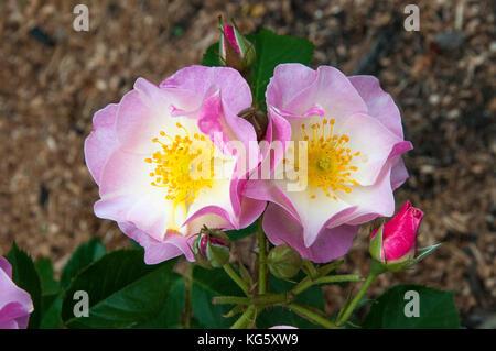 Briar Rose ou Sweet Briar (rosa rubiginosa) Banque D'Images
