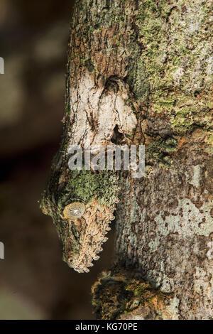 La tête en bas, mossy gecko à queue de feuille (Uroplatus sikorae) imitant la couleur et la structure d'un tronc d'arbre, parc national andasibe, madagascar Banque D'Images