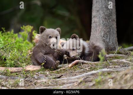 Les jeunes ours brun dans la forêt. portrait de l'ours brun. animal dans la nature habitat. cub de l'ours brun sans Banque D'Images