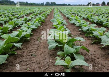 / Agriculture / plantation de tabac La culture du tabac