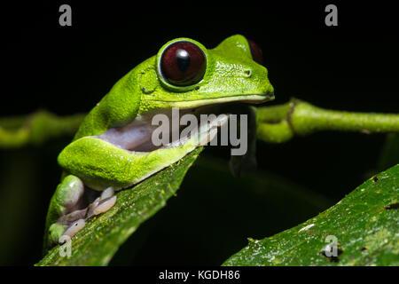 Une grenouille feuille de vol (Agalychnis spurrelli) à partir de la jungle de l'Équateur. Un rare grenouille pour Banque D'Images