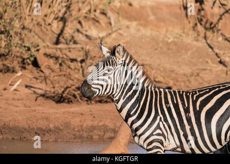 Un comité permanent zèbre Des Plaines (Equus quagga) Banque D'Images