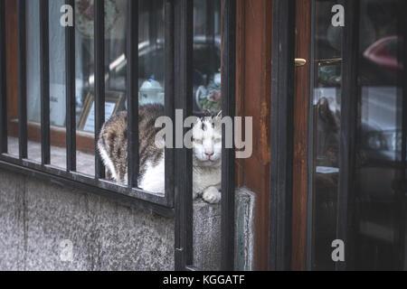 Blanc et gris adultes chat domestique (felis silvestris catus) pose en magasin entre la fenêtre et les bars, à trouver comment manger le photographe