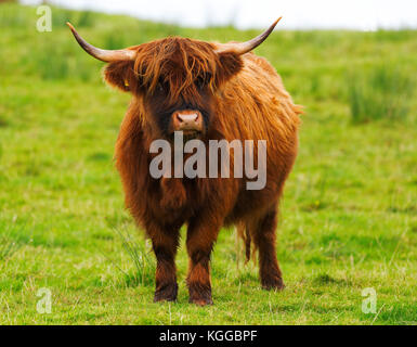 Scottish Highland cattle grazing in a field et le pâturage sur l'île de Mull, en Ecosse Banque D'Images
