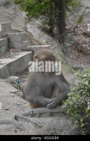 Monkey sitting in meditive poser dans le temple de Pashupatinath à Katmandou, au Népal. Banque D'Images