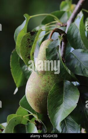 Sur Pear Tree avec des champignons sur le fruit montrant la rouille qui semble prêt pour la récolte Banque D'Images