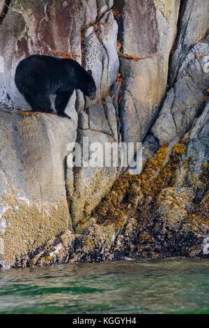 L'ours noir (Ursus americanus) debout le long d'une falaise à marée basse dans la région de Knight Inlet, beautiful British Columbia, Canada.