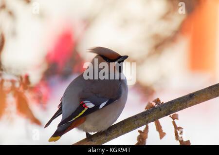 Jaseur d'oiseaux sur une branche isolée Banque D'Images