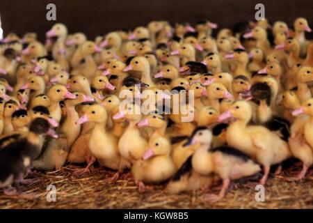 Gros plan du bébé canards dans farm Banque D'Images