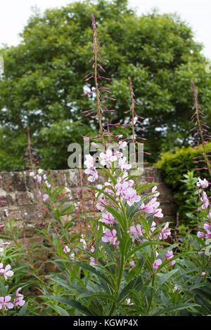 Rosebay willowherb, Bombweed, poussant dans le jardin, maison Guanock if, Lincolnshire, les fens Banque D'Images