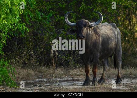 Buffle sauvage du Sri Lanka - Bubalus arnee migona, Sri Lanka Banque D'Images