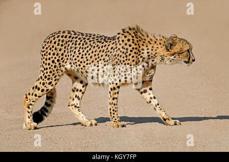 Un Guépard (Acinonyx jubatus) traque ses proies, Afrique du Sud Banque D'Images