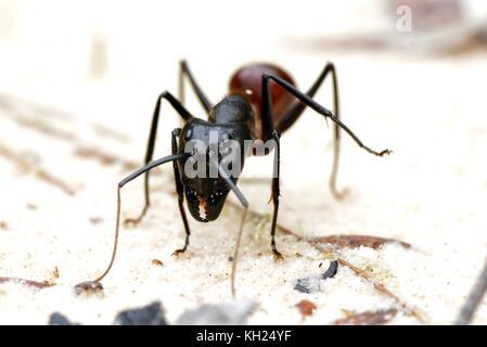 Close-up d'un géant fourmi Camponotus gigas; dinomyrmex sp Banque D'Images