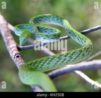 Serpent de vigne verte dans une attitude de défense Banque D'Images