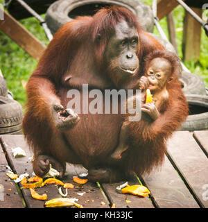 Les orang-outan (pongo pygmaeus) avec bébé lors d'une plate-forme d'alimentation à l'orang-outang rehabilitation Banque D'Images