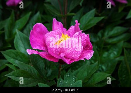 Gouttes de pluie sur une fleur de pivoine rose, New Jersey, USA, la pluie dans le jardin Banque D'Images