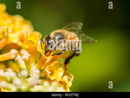 Un plan macro sur une abeille la collecte du pollen d'un arbre aux papillons jaune. Banque D'Images