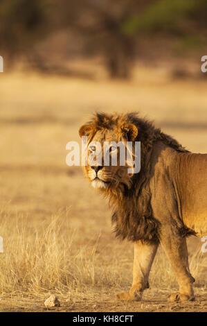 Lion à crinière noire (Panthera leo) vernayi, homme, désert du Kalahari, kgalagadi transfrontier Park, Afrique du Sud