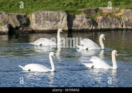 Une bande de cygnes sur le lac marin à Southport, Merseyside. Banque D'Images