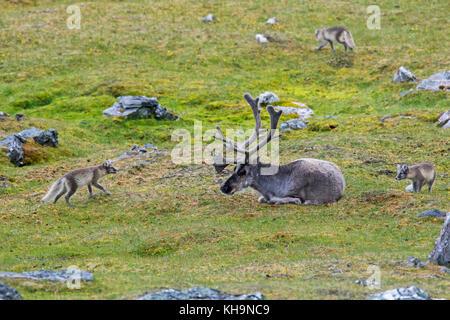 Trois jeunes curieux le renard arctique / blanc / polar fox fox / neige fox (Vulpes lagopus / Alopex lagopus) réunion Banque D'Images