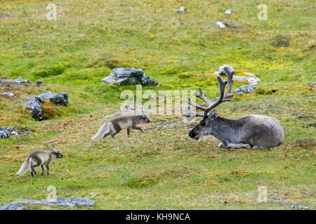 Deux jeunes curieux le renard arctique / blanc / polar fox fox / neige fox (Vulpes lagopus / Alopex lagopus) réunion Banque D'Images