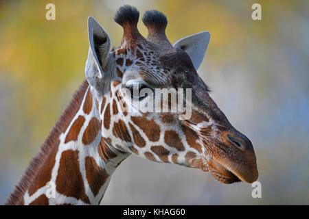 Somali Girafe (Giraffa camelopardalis reticulata), portrait, captive Banque D'Images