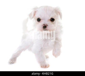 Chiot maltese dog in front of white background Banque D'Images