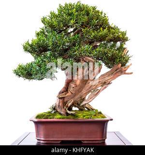 If (Taxus cuspidata conifères) en tant que bonsai avec de vieux bois mort