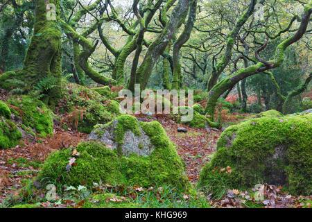 Dans Dewerstone d'arbres couverts de mousse, Devon Bois Banque D'Images