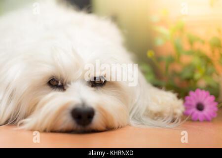 Petit chien blanc couché sur le plancher et une fleur pourpre se trouve à côté de lui. Banque D'Images