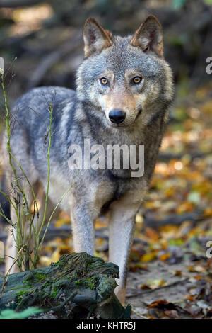 Le loup chasse dans la forêt Banque D'Images