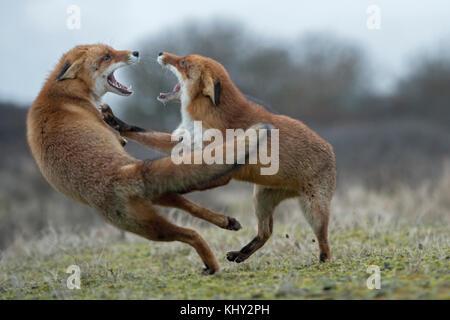 Le Renard roux Vulpes vulpes ( ), deux adultes, en lutte agressive, les combats, menaçant avec de larges mâchoires Banque D'Images