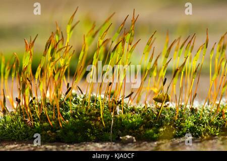 De jeunes sporophytes vis mur-moss, tortula muralis, passant le gamétophyte coussin sur un mur de jardin Banque D'Images