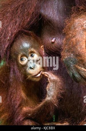 Mère et de l'orang-outan cub dans un habitat naturel de l'orang-outan de Bornéo. wurmmbii (pongo pygmaeus) dans Banque D'Images