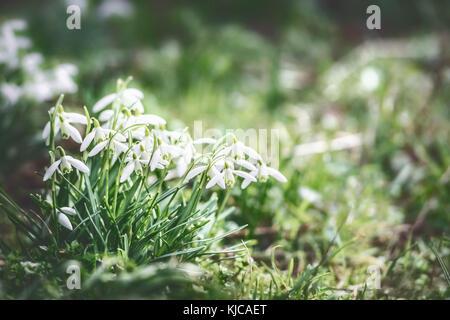 Première branche fleurs perce-neige à fond en plein air dans la nature dans le jardin, le parc ou la forêt, vue Banque D'Images