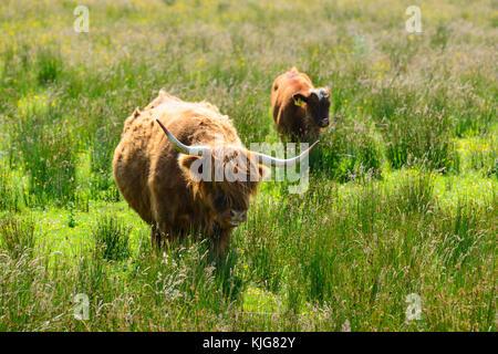 Vache et son veau highland près du bord de l'eau à la ferme van rspb réserve naturelle sur le Loch Leven, Perth Banque D'Images