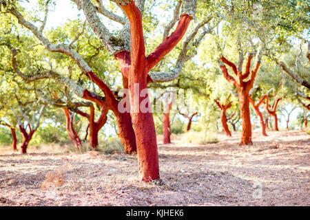Les arbres de chêne liège au Portugal Banque D'Images