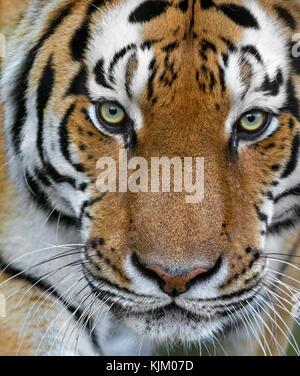 Portrait d'un tigre d'Amur Banque D'Images