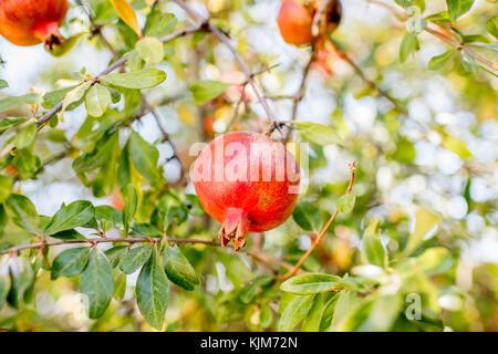 Fruits de grenade sur l'arbre Banque D'Images