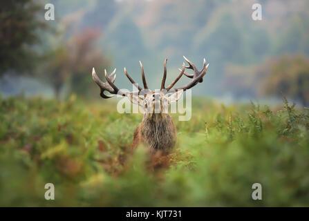 Red Deer stag pendant le rut Banque D'Images