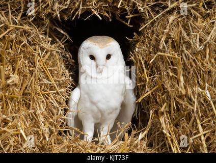 Barn Owl assis sur le foin Banque D'Images
