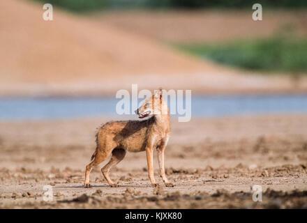 Indian jackal, Canis aureus indicus, parc national de Keoladeo ghana, bharatpur, Rajasthan, Inde