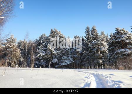 Forêt de pins après une grosse tempête de neige sur sunny winter day Banque D'Images