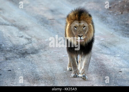Close up of male lion dans le parc national Kruger, Afrique du Sud Banque D'Images